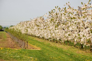 Beller Hof Kirschblüte