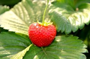Frische Erdbeeren vom Beller Hof