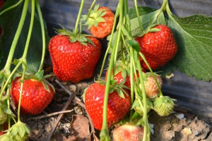 Beller Hof Erdbeeren
