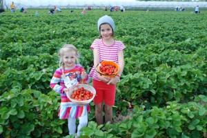 Erdbeeren selber pflücken auf dem Beller Hof