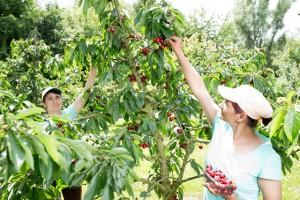 Kirsch-Ernte auf dem Beller Hof