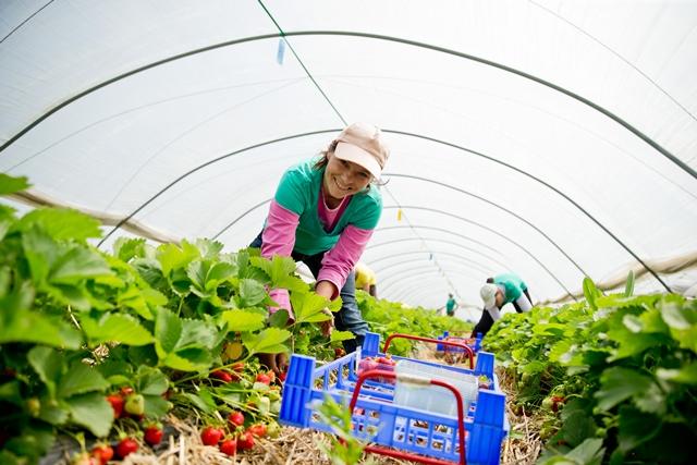 Erdbeer-Ernte auf dem Beller Hof