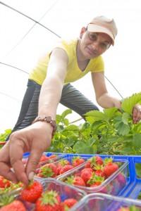 Neue Erdbeeren vom Beller Hof