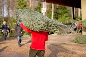 Weihnachtsbäume - Selbst geschlagen