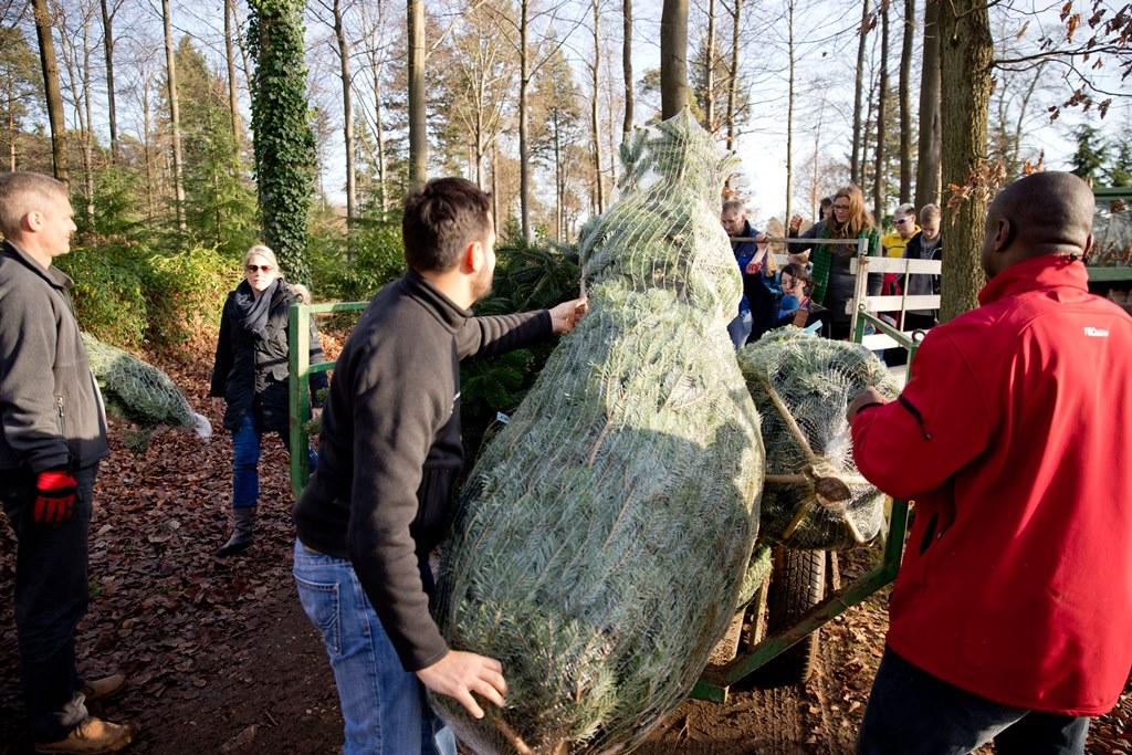 Frische Weihnachtsbäume vom Beller Hof
