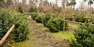 Weihnachtsbäume vom Forsthaus Londorf